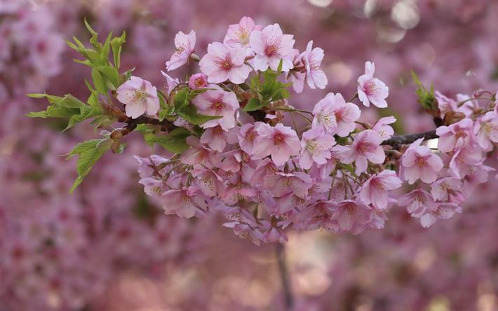 Carta Da Parati Fiori Di Ciliegio : Scarica sfondi fiore di primavera fiori rosa fiori di ciliegio