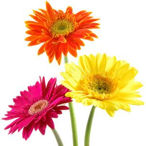 Assorted Gerbera Daisies Wholesale Flowers Wholesale Flowers Flower Care