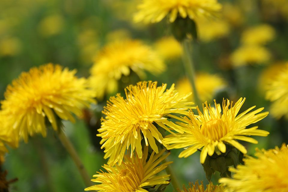 Dandelion Tea Benefits Dandelion Benefits Dandelion Dandelion Tea