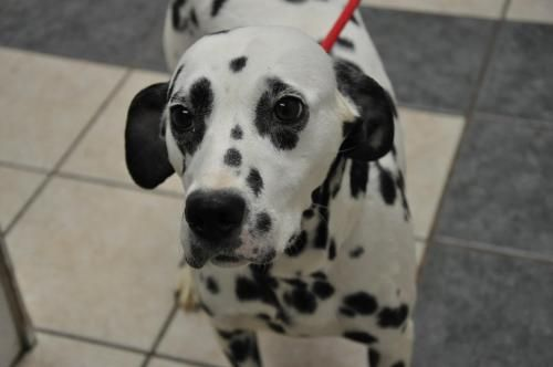 Adopt Josie On Dalmatian Dogs Puppy Adoption Family Dogs