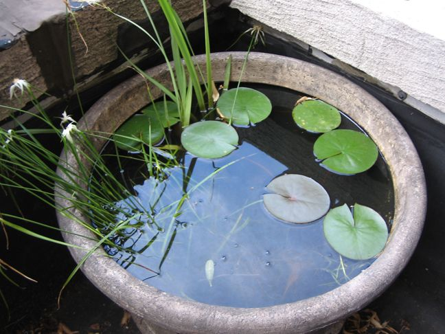 Growing Waterlillies In A Container With Guppies And Snails Container Water Gardens Small Water Gardens Indoor Water Garden