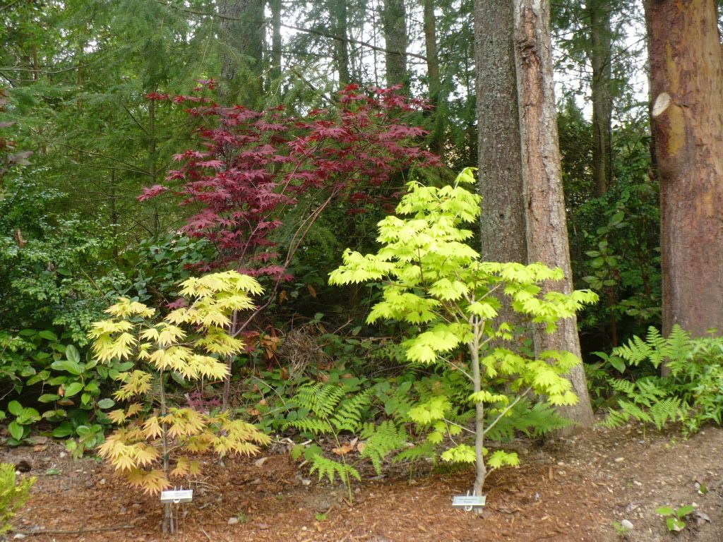 Acer Shirasawanum Autumn Moon And Aureum With Acer Palmatum