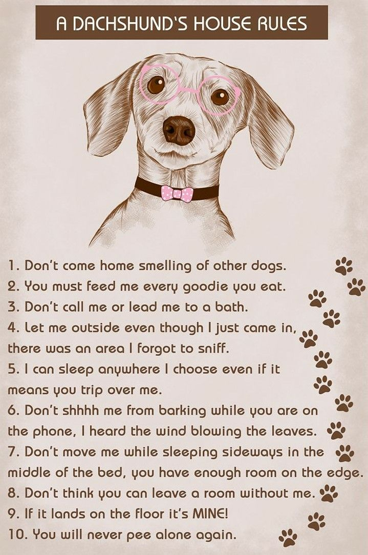 Dachshund House Rules Better Obey Dachshund Dachshund Dog