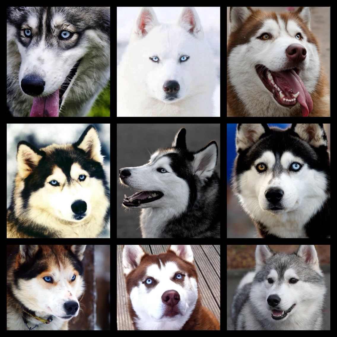 Just A Few Of The Many Faces And Colours Of The Siberian Husky