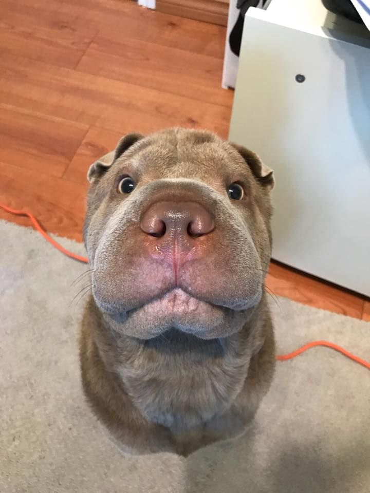 Pin by mi amore dy on doglovers shar pei puppies cute