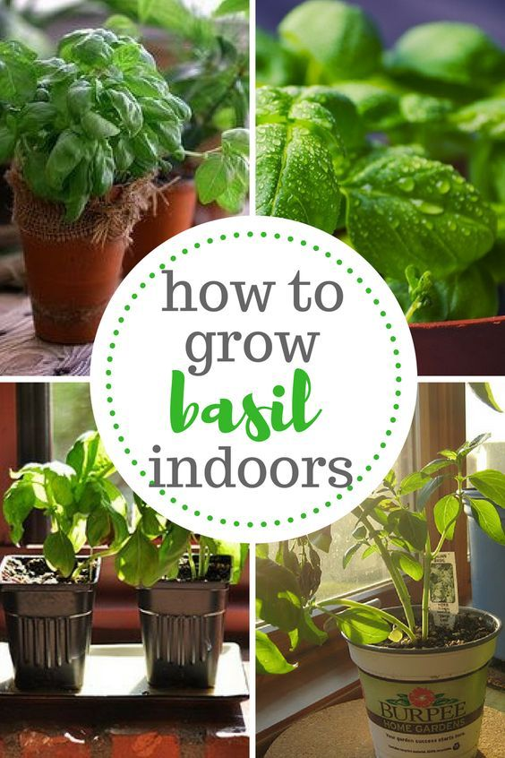 How to Grow Basil Indoors | Great Gardens & Ideas | Pinterest ...