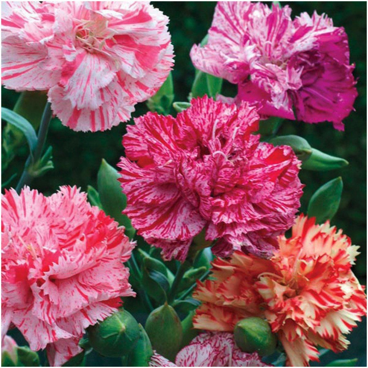 Picotee Carnation Flower Seeds Flower Seed Gifts Flowers Perennials