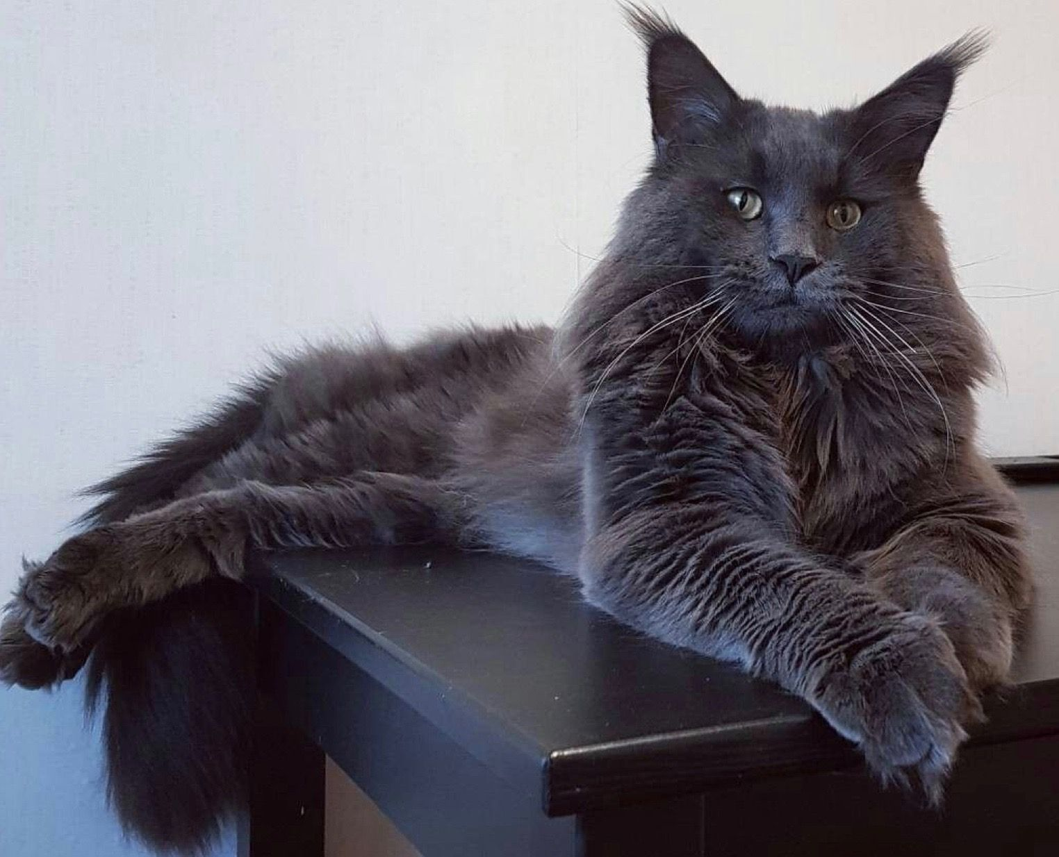 Black Smoke Cat Breed