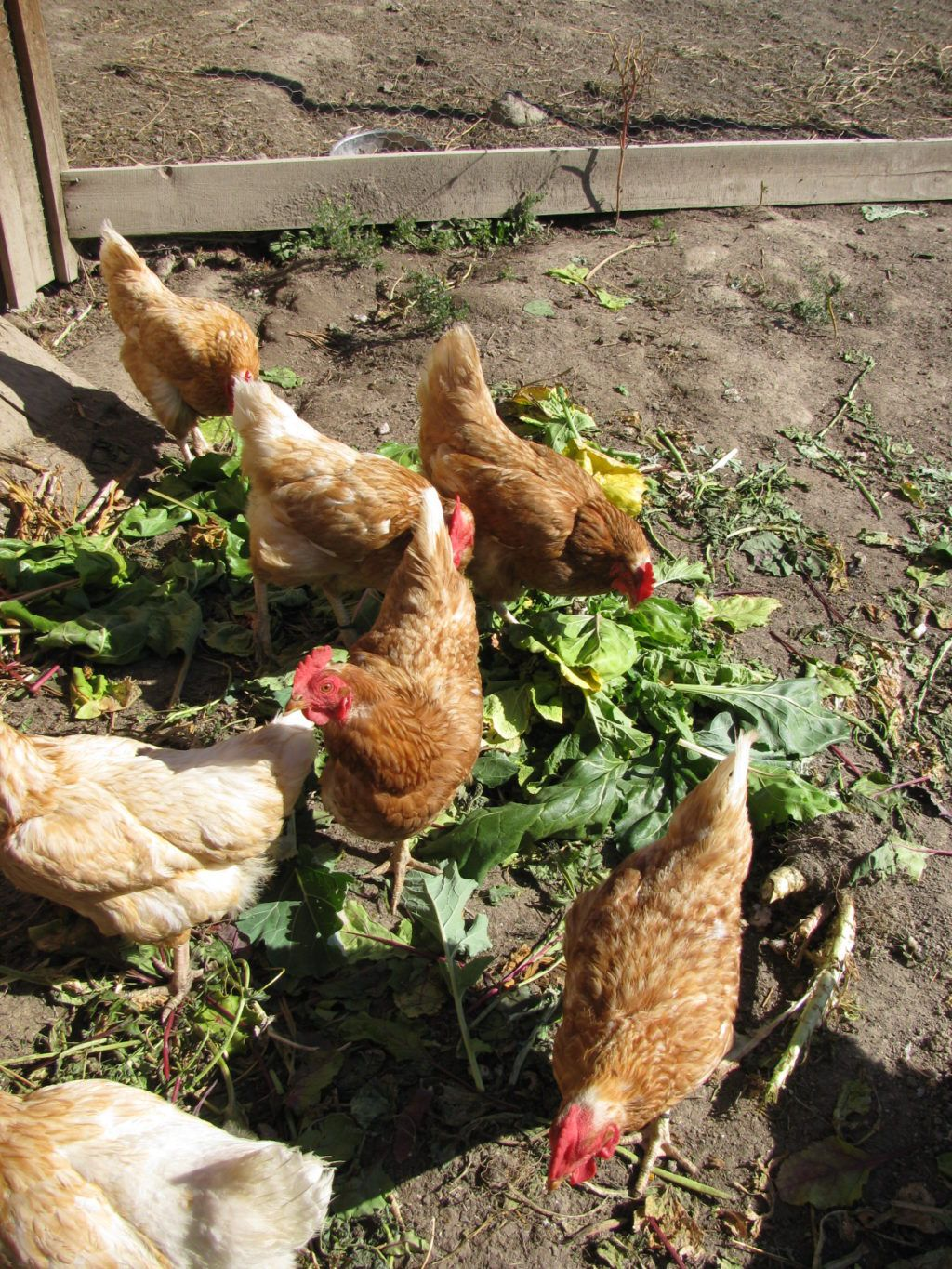How to grow your own animal feed chickens pigs goats
