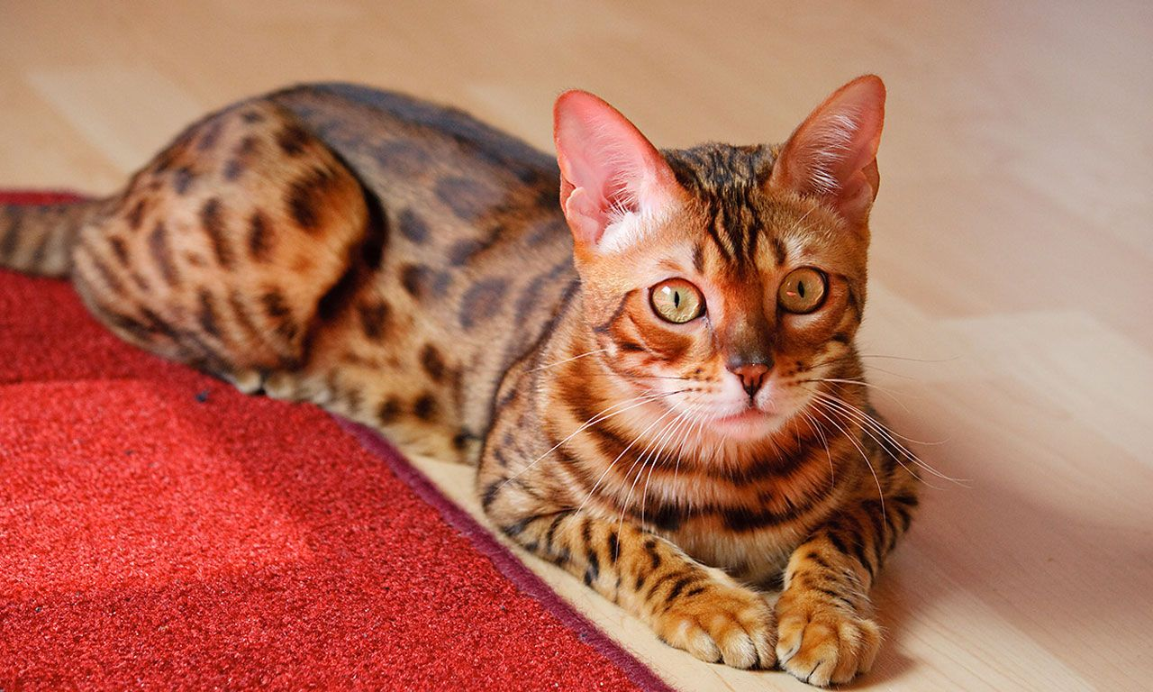 13 Smartest Cat Breed In The World Most beautiful cat