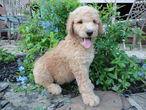 Pyredoodle Great Pyrenees Poodle Mix Info Puppies And Pictures