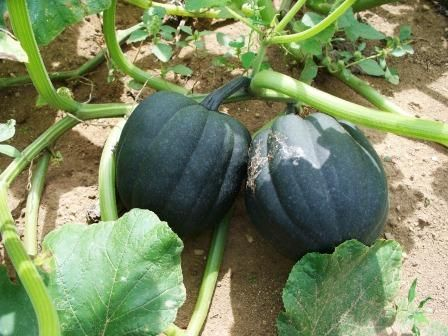 How to Grow Acorn Squash | how to grow squash instructions for ...