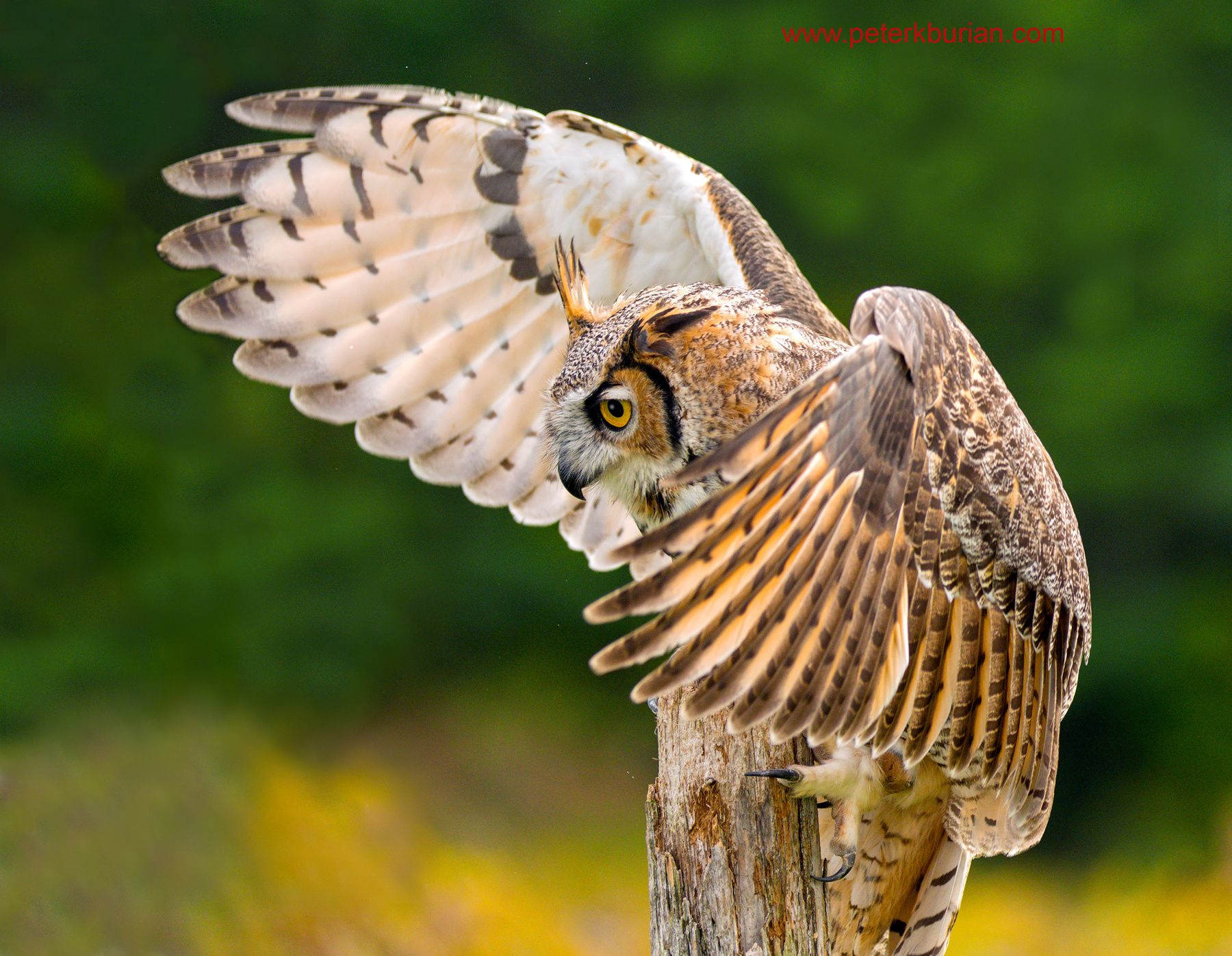 Great Horned Owl A - During a photo workshop, Controlled conditions ...