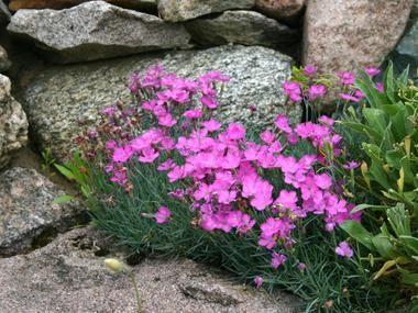 Gozdzik Siny Byliny Baza Roslin Rosliny Urzadzamy Pl Dianthus Gratianopolitanus Perennial Garden Plants