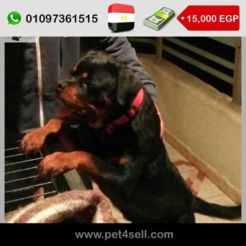 مصر القاهرة كلب روت وايلر بلود شامبيون معاه كل ورقه و المكرو شيب