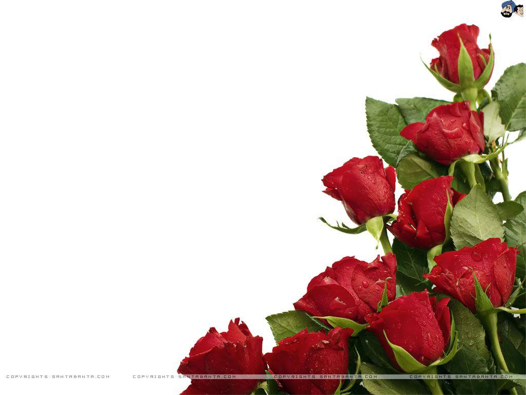 Rose Wallpaper For HD Download