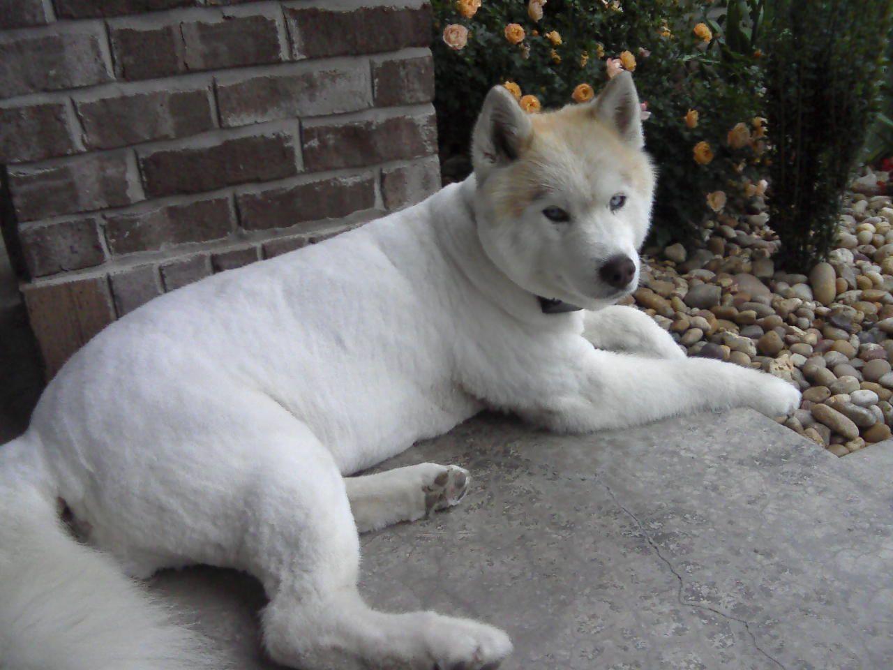 Shaved White Siberian Husky Cutie Puppies White