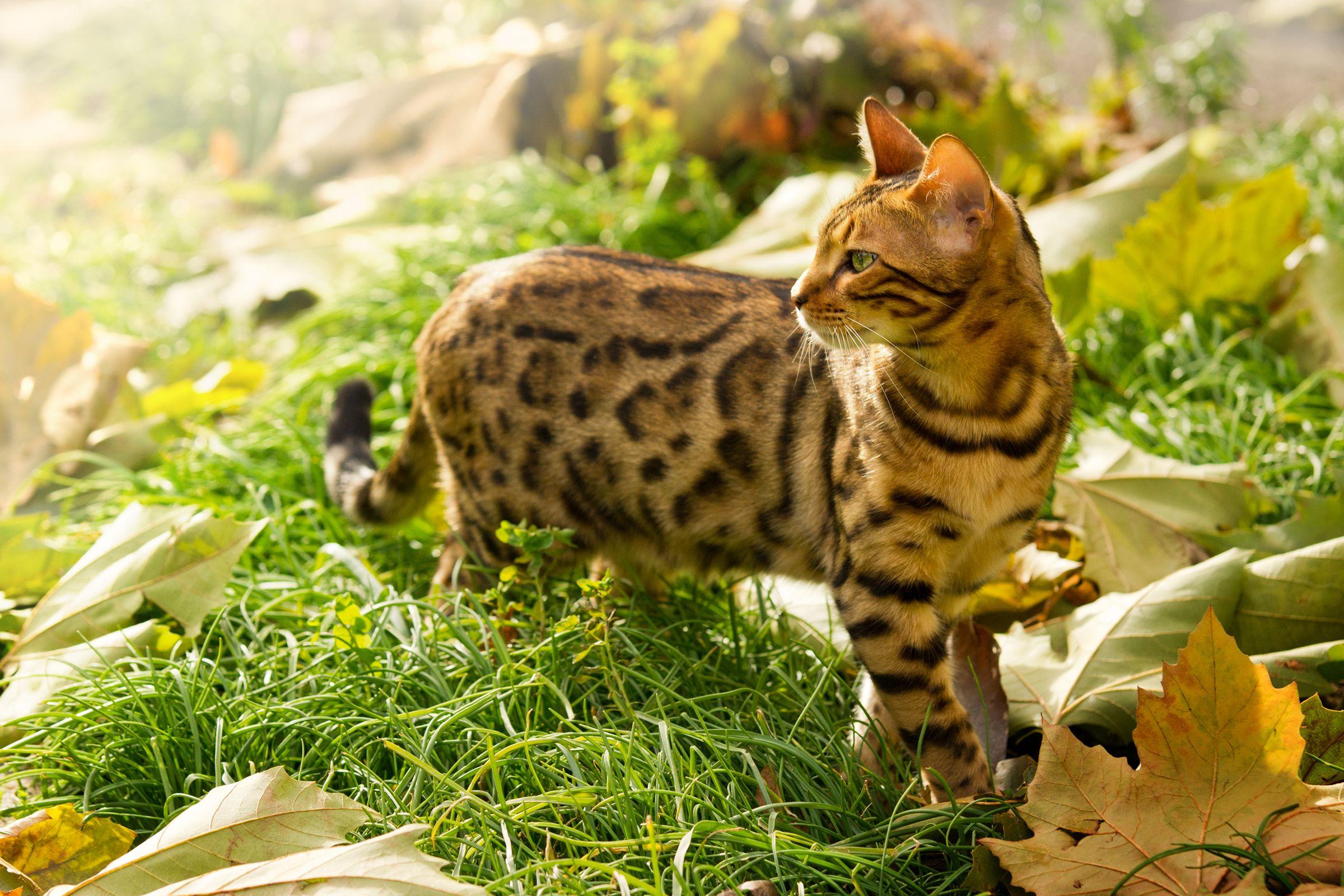 Chat bengal joue en extérieur