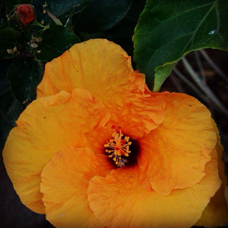 Hibiscus #geel