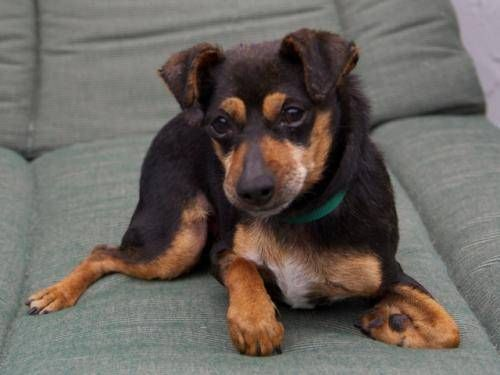 The Miniature Pinscher is great for apartment life ...