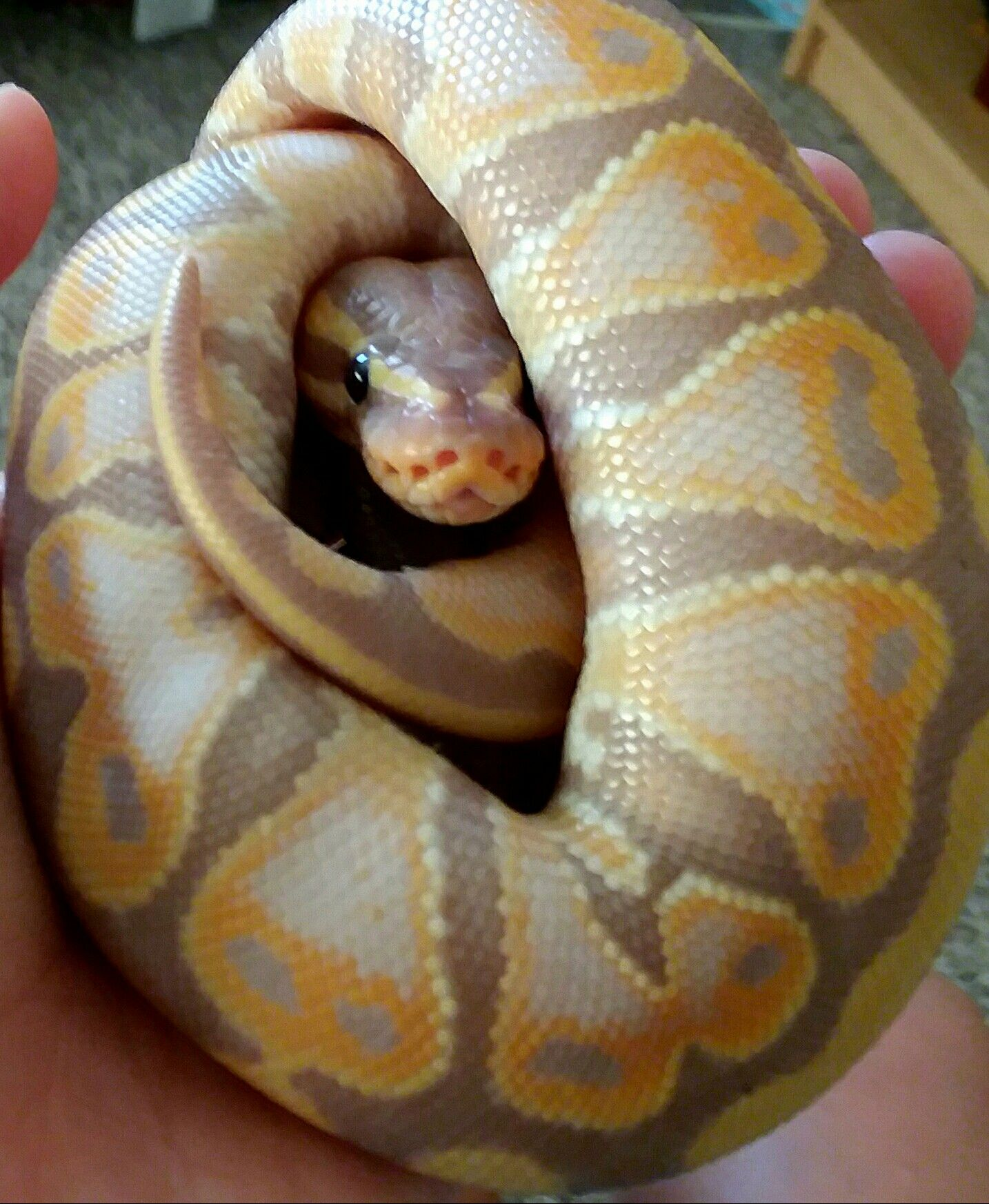 smoothie is the cutest ball python ever he loves cuddles and chin