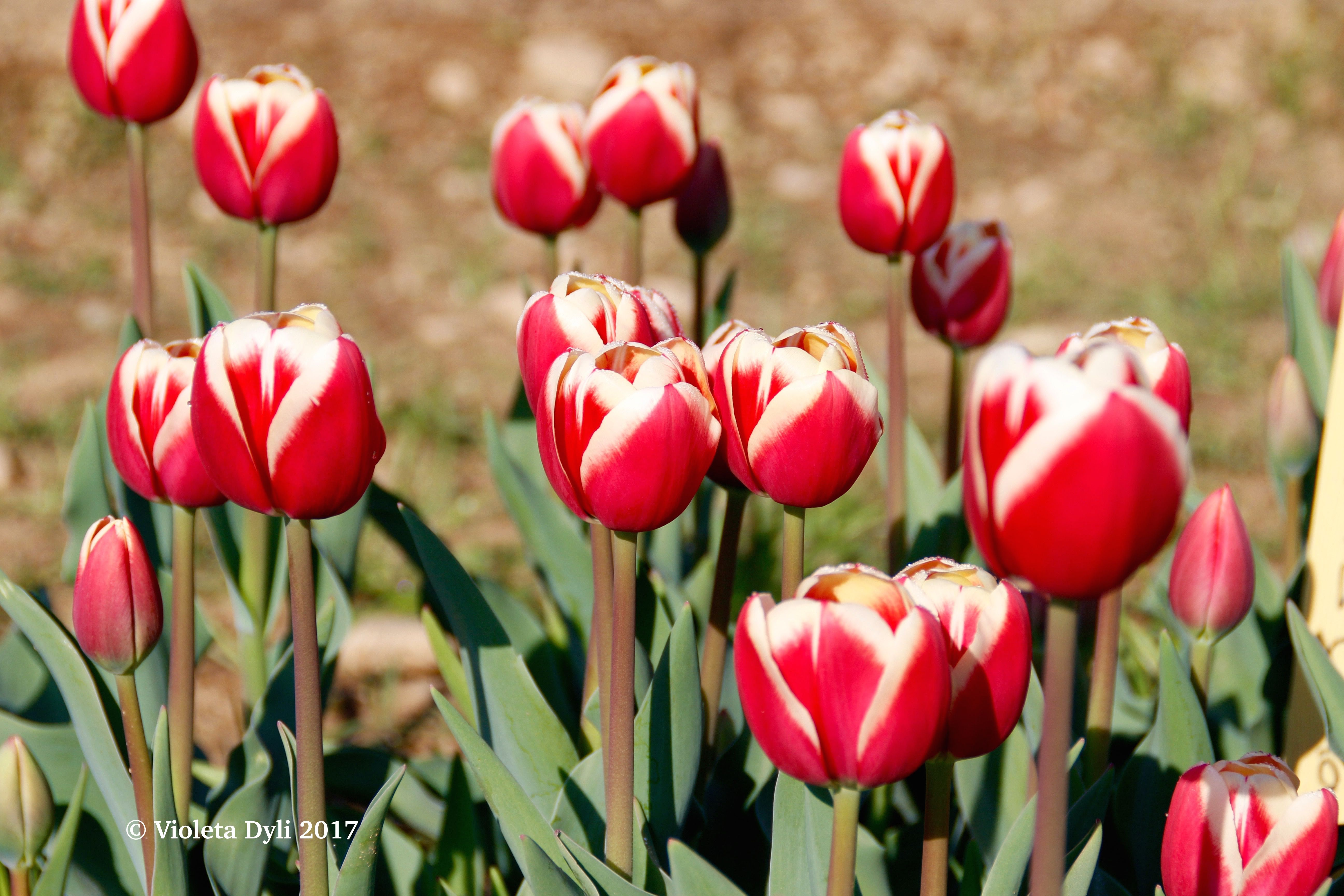 Tulipani in primavera