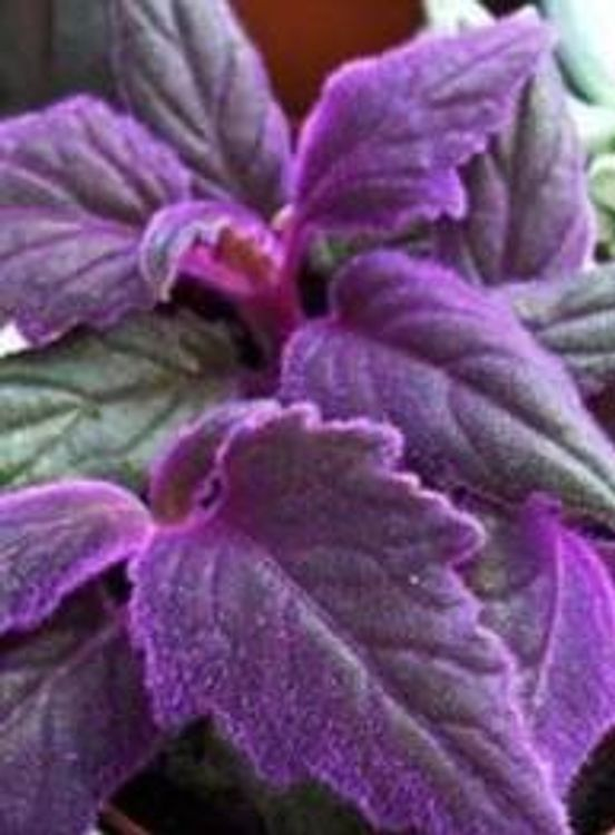 purple passion live plant gynura aurantiaca purple velvet plant - Flowering House Plants Purple