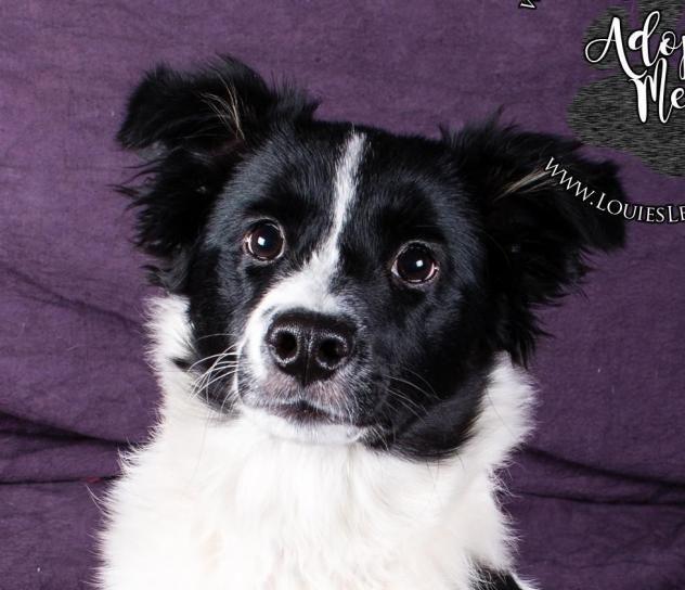 Adopt Skylar On Collie Dog Border Collie Dog Pup