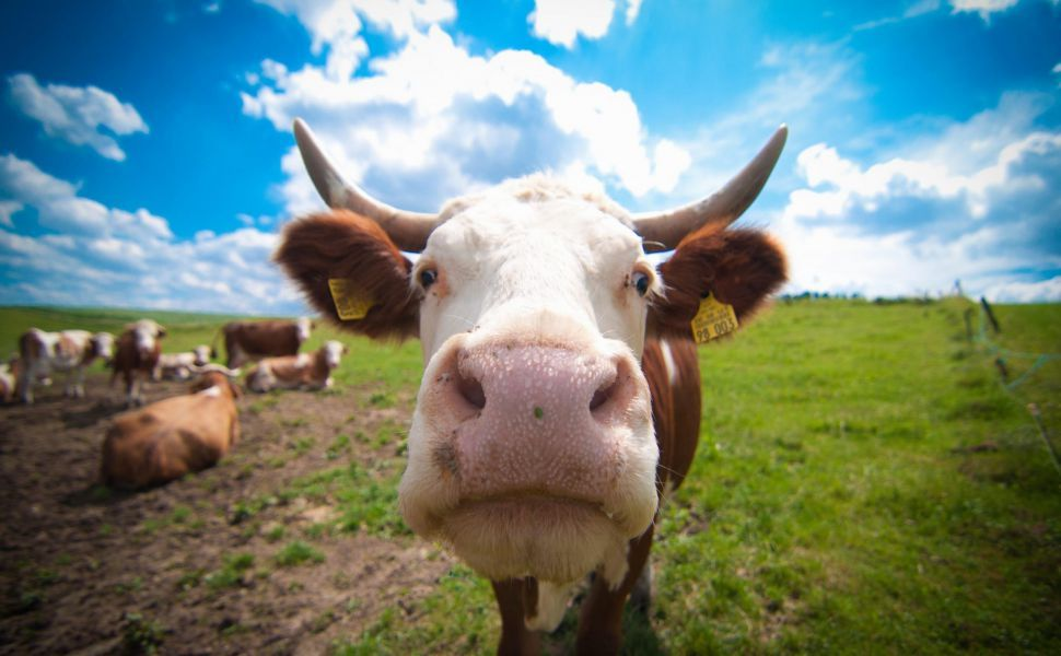 Cow mobile HD Wallpaper | Cows funny, Cow, Case cover