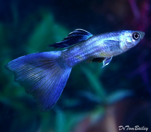 Guppy fish types of guppies species colour and tail for Fancy guppy fish