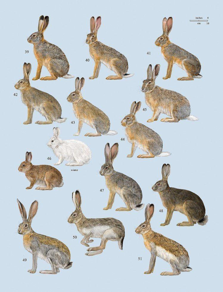 Photo of Handbook of the Mammals of the World – Volume 6 – Lynx Edicions