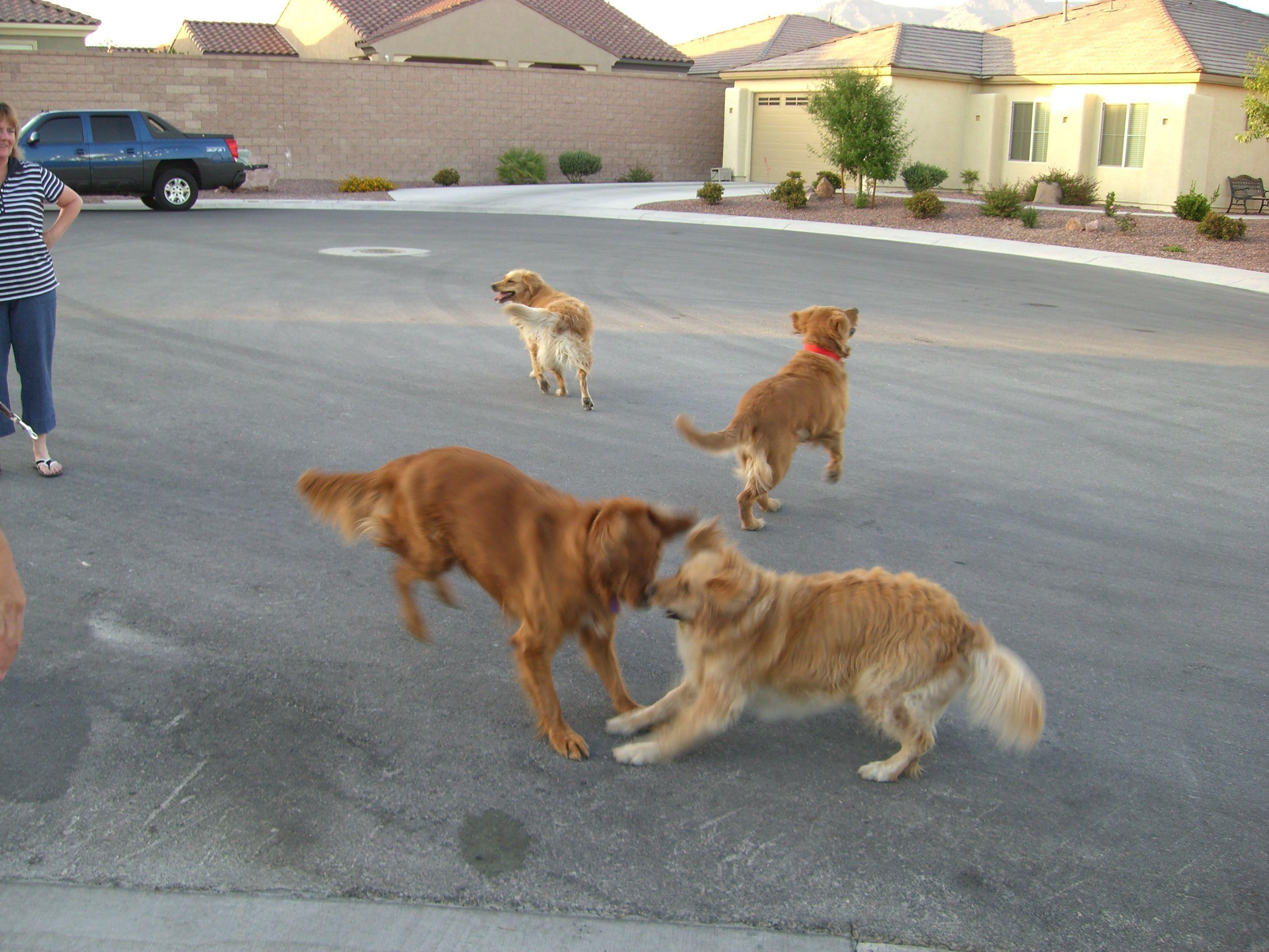 Golden Retriever Play Day Dogs Golden Retriever Animals