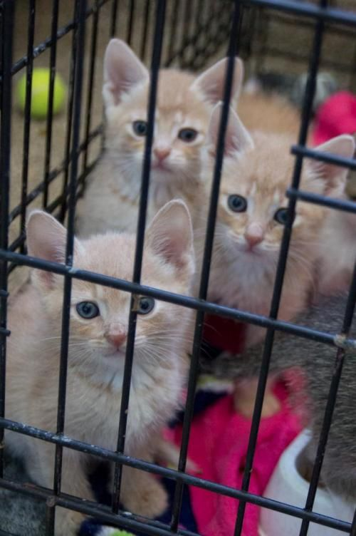 Adopt Kittens On Petfinder Grey And White Cat Kittens Animal Hospital
