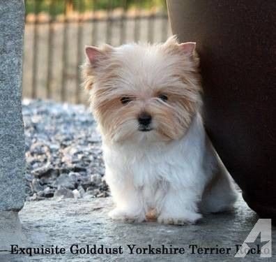 Gold Dust Yorkies Yorkshire Terrier Golddust Male Ready To Go