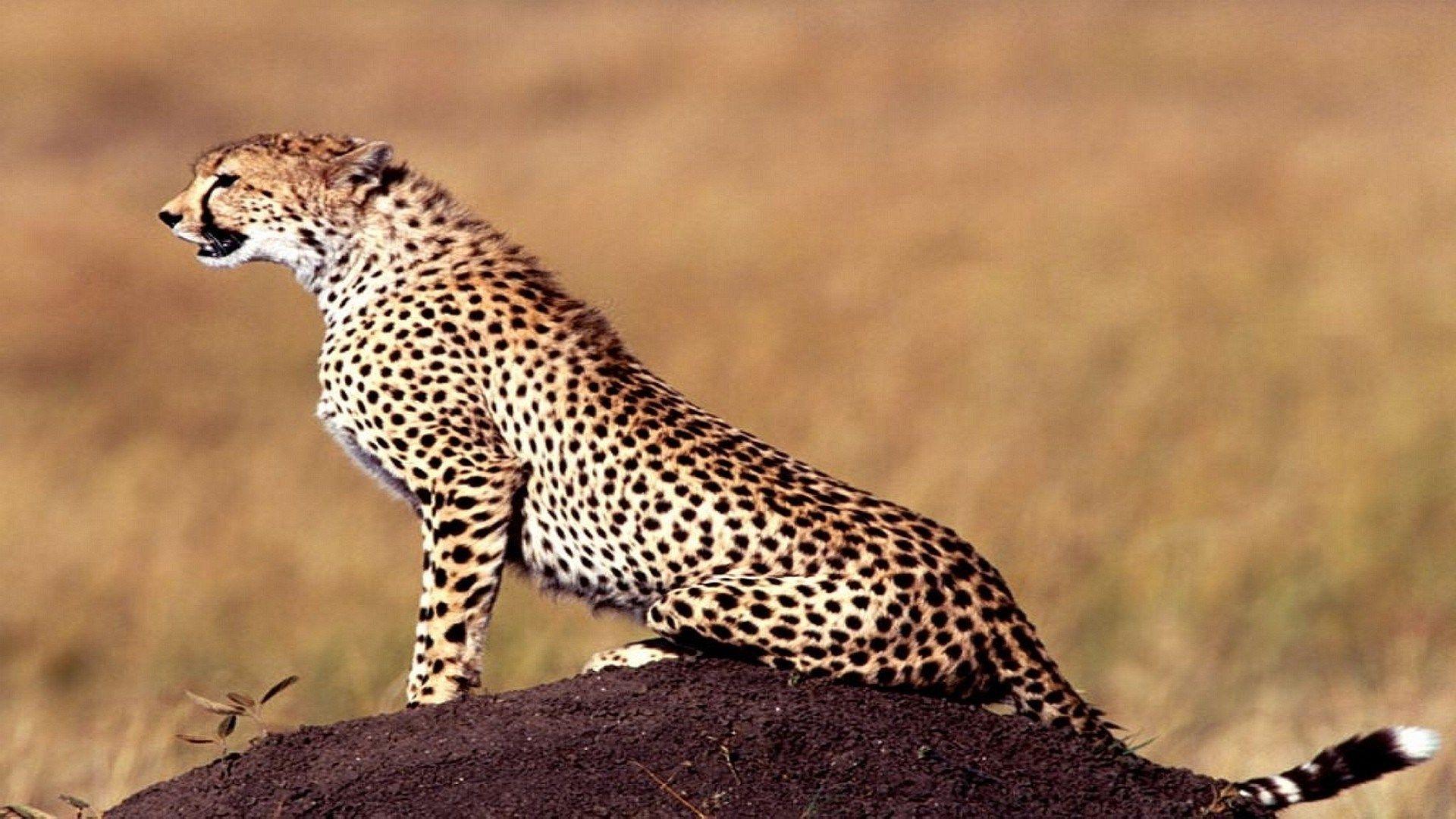 Cheetah Wallpaper Photos Free Cheetah Wallpaper Animals Cheetah