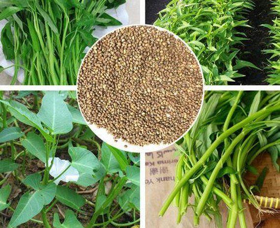 500 seed water morning glory Thai Vegetable Seeds