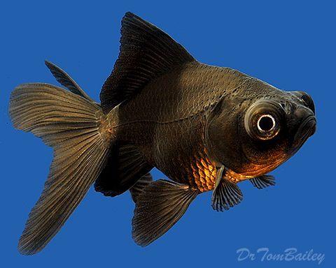 Cool Black Goldfish Gefullter Fisch Aquarium Fische Und