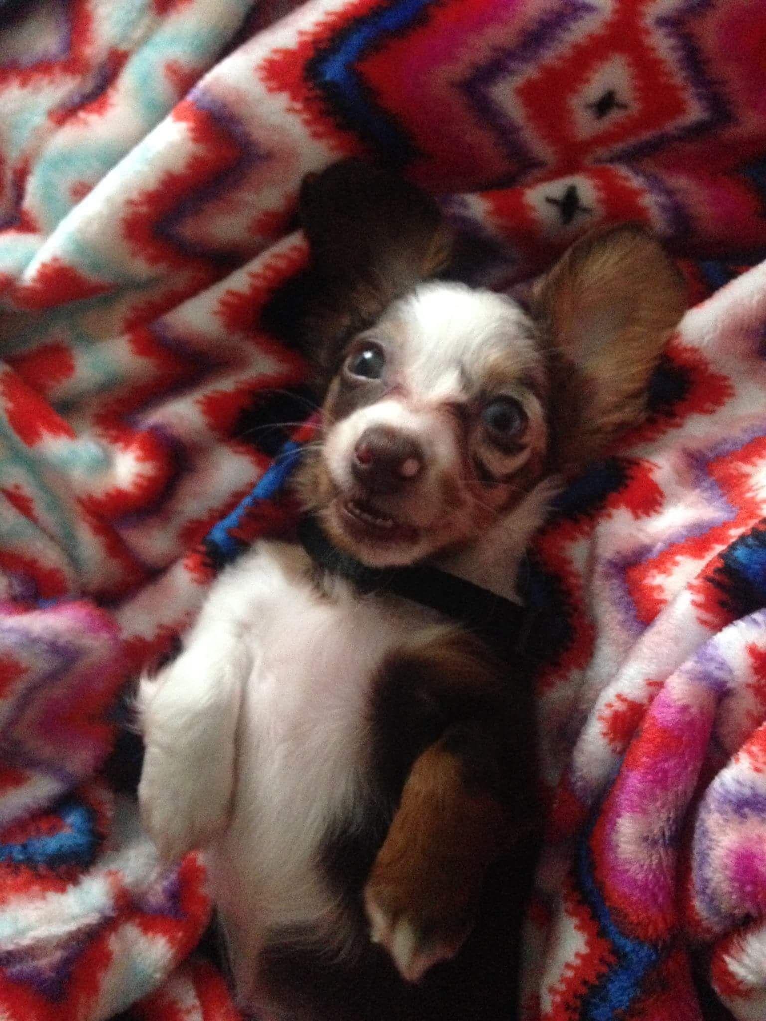 Meia Pup Miniature Dachshund Your Dog