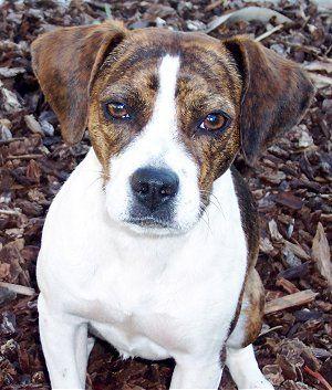 Beagle X Boston Terrier Boglen Terrier Its Face Is So Deep