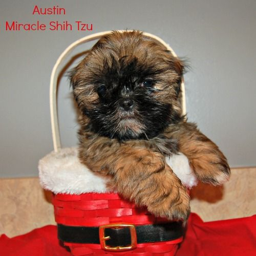 Shih Tzu Puppies For Sale In N E Ohio Shih Tzu Puppy Puppies