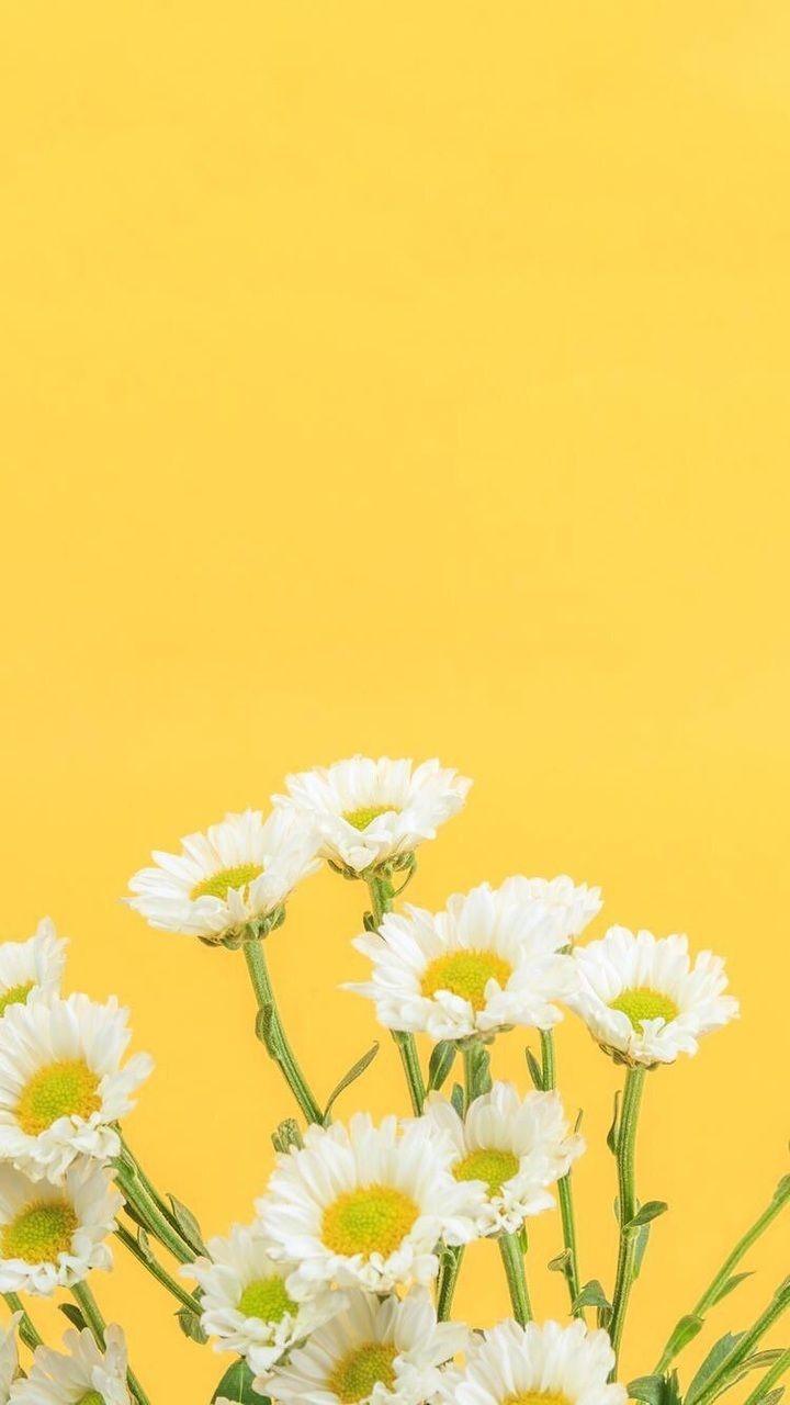 Pin Oleh Bai Erica Di Wallpapers Latar Belakang Bunga Daisy Foto Alam