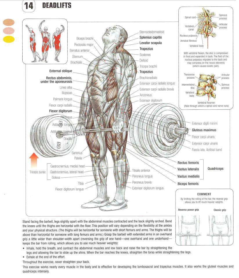 The Deadlift Exercise Anatomy Pinterest Anatomy Exercises And