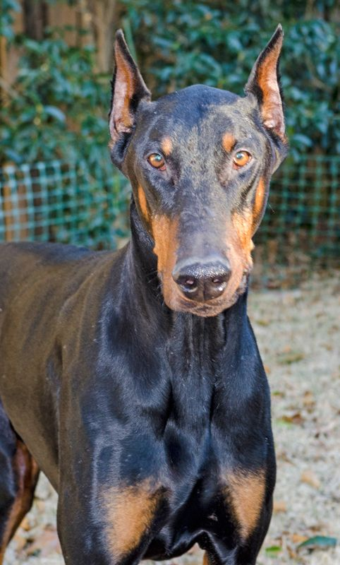 Chumley Doberman Pinscher Adult Male Large Atlanta