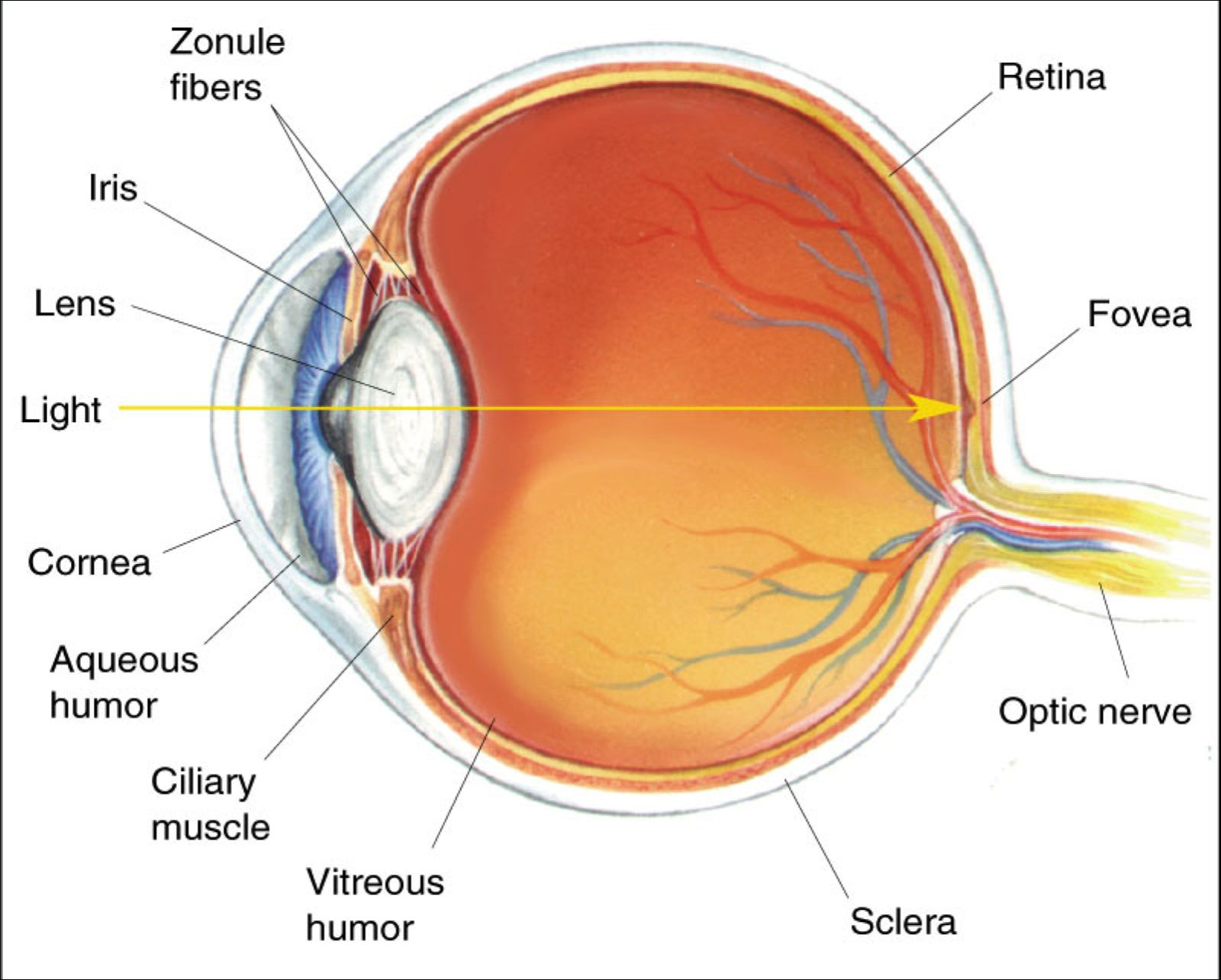 Eye Diagram Unlabelled Human Eye Diagram Unlabelled With