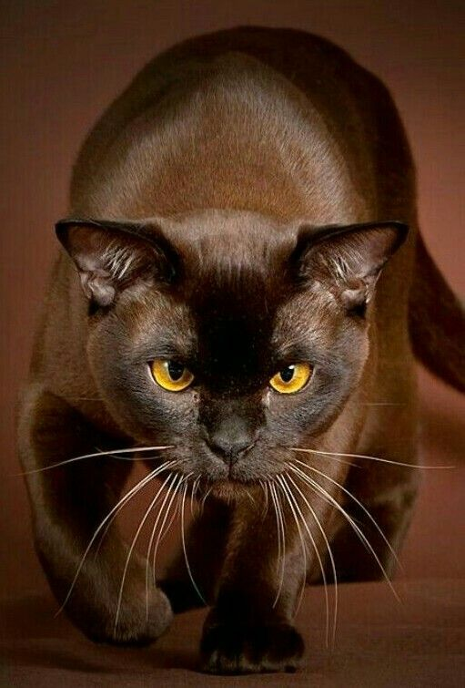 Burmese Cat Chocolate Fur Color Brown Cat Crazy Cats Cats