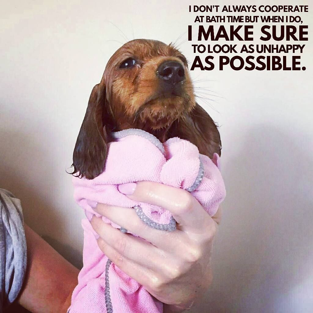 272 Likes 8 Comments Dachshund Quotes Pictures