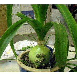 Pregnant Onion Plant Bulbes Succulentes Plante Interieur