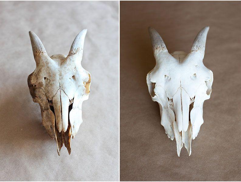 Bone Cleaning With Peroxide Animal Bones Cow Skull Decor Cow Skull Art