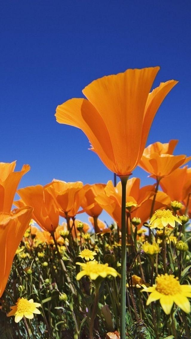 California poppies state flower ca poppy pinterest california poppies state flower mightylinksfo