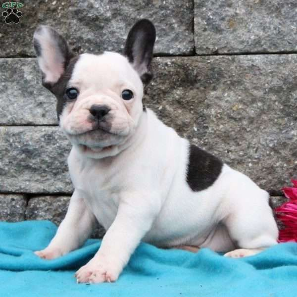 Flower French Bulldog Puppy For Sale in Pennsylvania